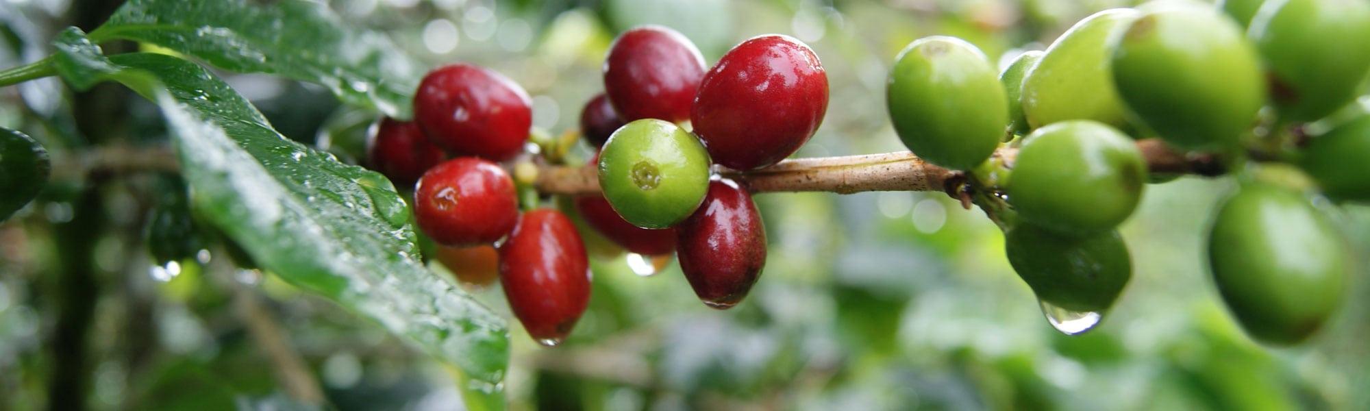 Kaffebär-kaffeplantage