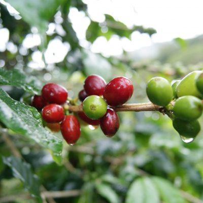 Kaffebär Honduras