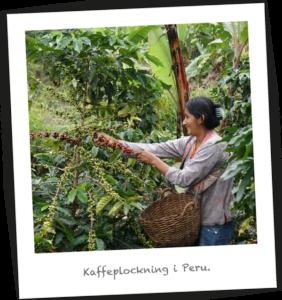 Kaffeplockning i Peru